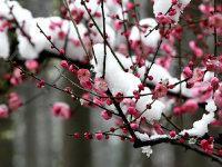 踏雪寻梅在武汉!
