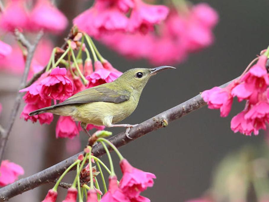 一树花中藏叉尾太阳鸟