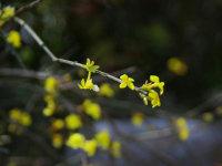 春暖花未开,迎春枝头探