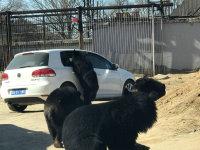 黑熊来收过路费  是生是死全凭车窗?