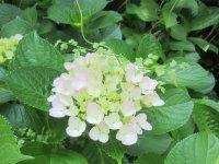 驻足观赏:夏季盛开的花球