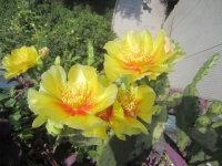 仙人掌开花了,也有它的精彩!
