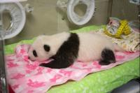开始为上野动物园熊猫宝宝征集名字