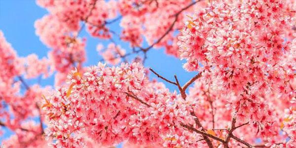 做攻略去日本看樱花